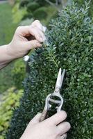 Na sadzonki nadają się tegoroczne, zdrowe odcinki pędów o długości około 10 cm