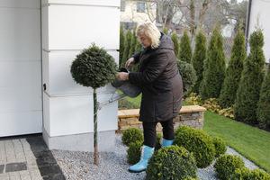 W okresach odwilży podlewamy rośliny zimozielone, zwłaszcza pod dachem