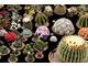 Zimą chętnie kupujemy kaktusy, zawinięte w papier nie zmarzną w transporcie