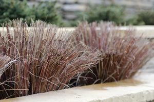 Carex buchananii po cięciu