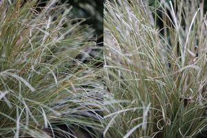 Carex comans 'Frosted Curls' z przyciętymi, podmarzniętymi końcówkami