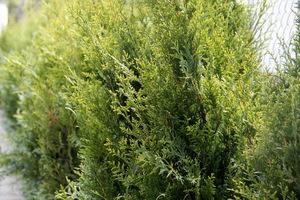 Thuja occidentalis 'Aureospicata' polecana na strzyżone żywopłoty