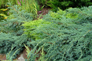 Różne gatunki jałowców (Juniperus)