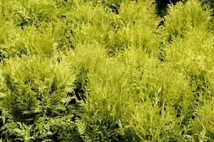 Późnym latem lub wczesną jesienią przesadzamy ukorzenione sadzonki do pojedynczych doniczek lub na rozsadnik