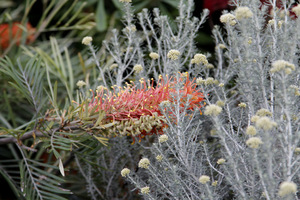 Essence of Australia - Callistemon