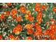 Posłonek (Helianthemum) nawet w naturze rośnie na skalistych terenach i uwielbia słońce i suchą glebę