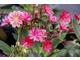 Lewizja liścieniowa - Lewisia cotyledon, typowa roślina górska