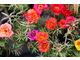 Jednoroczna portulaka wielkokwiatowa  (Portulaca grandiflora)