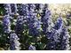 Dąbrówka (Ajuga reptans) - kwiaty