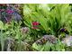 Na pierwszym planie pierwiosnki (Primula)