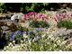Różowe kuleczkowe kwiatostany to zawciąg (Armeria)