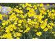 Jaskier  trawiasty (Ranunculus gramineus)