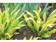 Paproć Asplenium scolopendrium