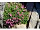 Asperula sintenisii - pochodzi z Turcji, łatwa do uprawy z sadzonek zielnych