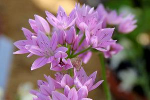 Allium unifolium (Allium grandisceptrum,  Allium murrayanum) ma kwiatostany w kształcie gwiazdy