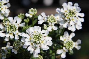 Ubiorek wiecznie zielony (Iberis sempervirens) - kwiaty z bliska