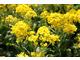 Smagliczka skalna  (Alyssum saxatile) ma jaskrawe, żółte kwiaty widoczne z daleka