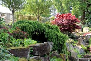 Zwisający, malowniczy iglak to choina kanadyjska 'Pendula' - idealna roślina na zbocza skalne