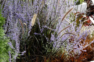 """Szkółka roślin """"Radzis"""" zaprezentowała ciekawą kompozycję jasnoniebieskiej perowskii z ciemnolistnymi bylinami, trawami, turzycami i topolą o bordowych liściach"""