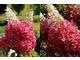 Kwiaty z bliska - Hygrangea paniculata 'Pinky Winky'