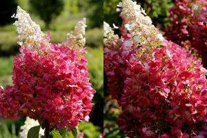 Hortensje Bukietowe Najpiękniejsze Krzewy Liściaste Kwitnące