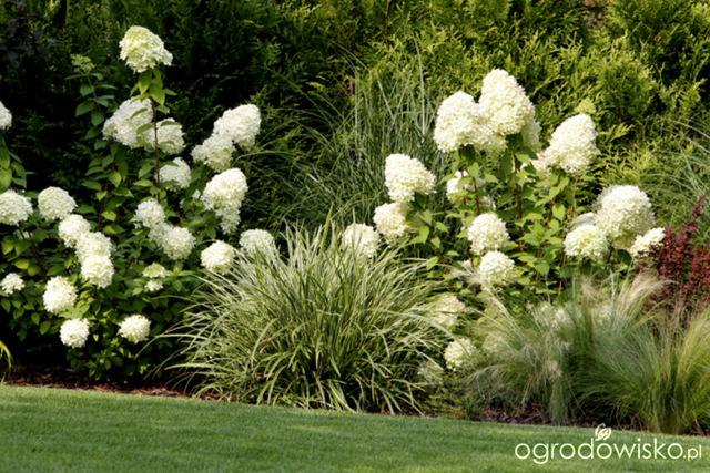 Galeria Zdjęć Hortensje Bukietowe Najpiękniejsze Krzewy