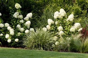 Hydrangea paniculata 'Limelight' w towarzystwie zimozielonych turzyc i delikatnych ostnic