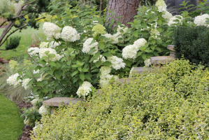 Hydrangea paniculata 'Limelight' i Euonymus fortunei 'Emerald'n Gold'