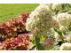 Jesienne przebarwienia Hydrangea paniculata 'Limelight'