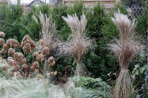 Kwiatostany hortensji i malowniczo związane miskanty w okresie bezśnieżnej zimy