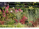 Hydrangea paniculata 'Vanille Fraise' z miskantami i berberysami