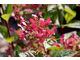 Hydrangea paniculata QUICK  FIRE 'Bulk'