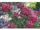 Hydrangea paniculata DIAMANT ROUGE 'Rendia'