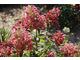 Hydrangea paniculata MEGA MINDY 'ILVOmindy'