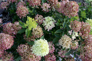 Hydrangea paniculata LITTLE LIME 'Jane'