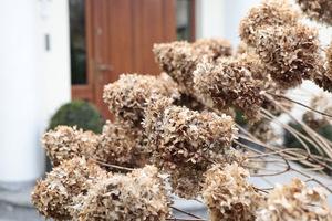 Kwiatostany hortensji bukietowej utrzymały się aż do wiosny