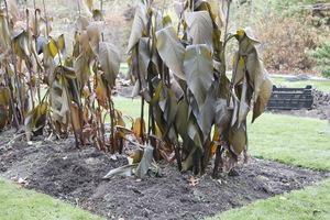 Wykopujemy kanny, dalie itp. rośliny nie zimujące w gruncie