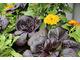 Do warzyw chętnie dodajemy nagietki