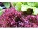 Kolorowe sałaty dają dobry efekt kolorystyczny