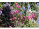 Jarmuż i różowe dalie, znakomity pomysł