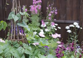 Po wigwamie z wikliny pnie się fasola, towarzyszą jej kolorowe kwiaty w tonacji różowej