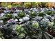 Warzywa kapustne cieszą się powodzeniem