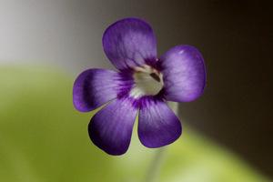 Kwiat tłustosza w uprawie domowej