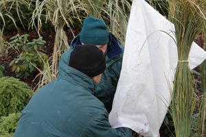 Okrywanie klonu palmowego