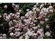 Bryłę korzeniową magnolii można lekko wyściółkować korą sosnową z dala od pnia