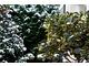 Ostrokrzewy o kolorowych liściach są wrażliwe na mróz i mogą przemarzać