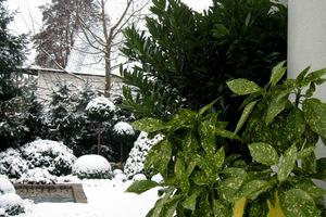 Aukubę trzeba schować do chłodnego garażu, jej uprawa może się udać jedynie w najcieplejszych rejonach Polski