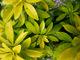 Uprawa rośliny o nazwie Choisya nie udała się