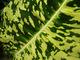 Zraszamy liście roślin domowych (na zdjęciu Diffenbachia)