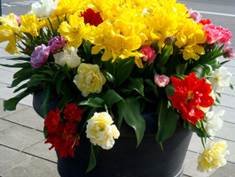 Donica z kwitnącymi tulipanami